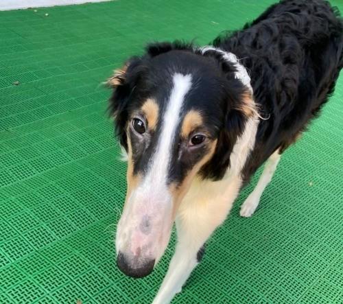 ボルゾイの子犬(ID:1233611035)の4枚目の写真/更新日:2021-06-10