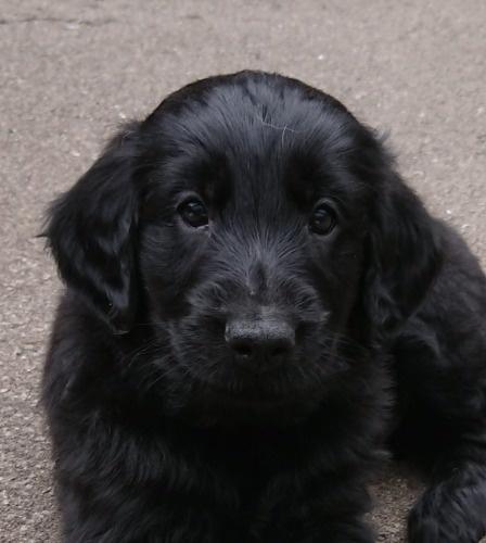 フラットコーテッドレトリバーの子犬(ID:1233711013)の1枚目の写真/更新日:2021-06-22