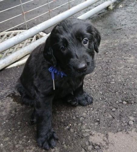 フラットコーテッドレトリバーの子犬(ID:1233711013)の2枚目の写真/更新日:2021-06-21