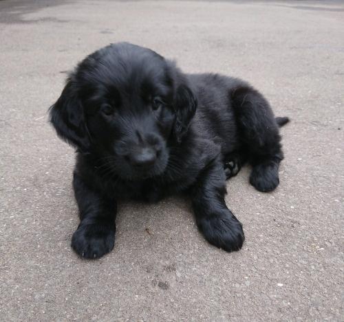 フラットコーテッドレトリバーの子犬(ID:1233711013)の3枚目の写真/更新日:2021-06-21