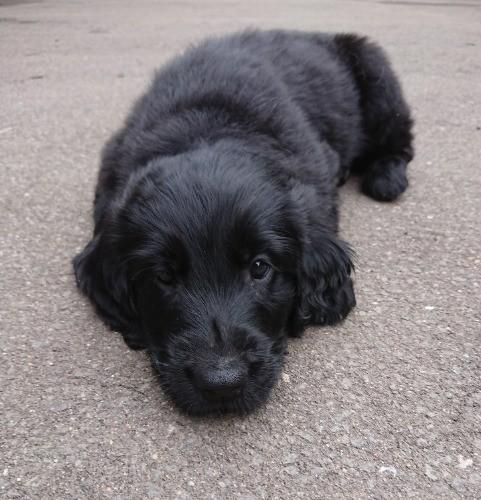 フラットコーテッドレトリバーの子犬(ID:1233711013)の5枚目の写真/更新日:2021-06-21