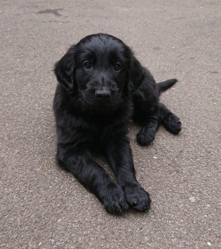 フラットコーテッドレトリバーの子犬(ID:1233711013)の6枚目の写真/更新日:2021-06-22