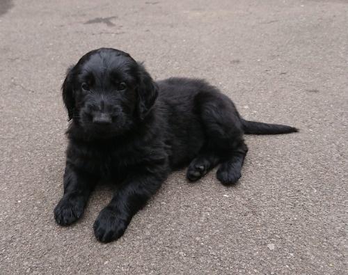 フラットコーテッドレトリバーの子犬(ID:1233711013)の7枚目の写真/更新日:2021-06-22