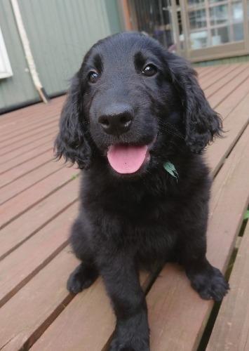 フラットコーテッドレトリバーの子犬(ID:1233711014)の4枚目の写真/更新日:2021-07-14