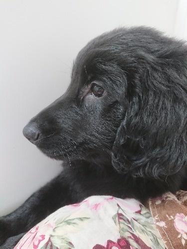フラットコーテッドレトリバーの子犬(ID:1233711014)の5枚目の写真/更新日:2021-07-14