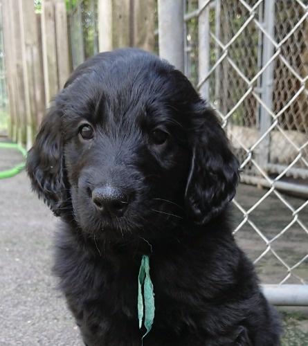 フラットコーテッドレトリバーの子犬(ID:1233711014)の7枚目の写真/更新日:2021-07-14