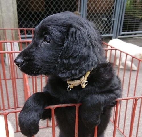 フラットコーテッドレトリバーの子犬(ID:1233711015)の1枚目の写真/更新日:2021-07-05