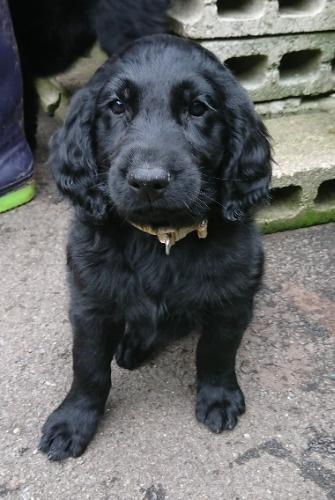 フラットコーテッドレトリバーの子犬(ID:1233711015)の2枚目の写真/更新日:2021-07-14