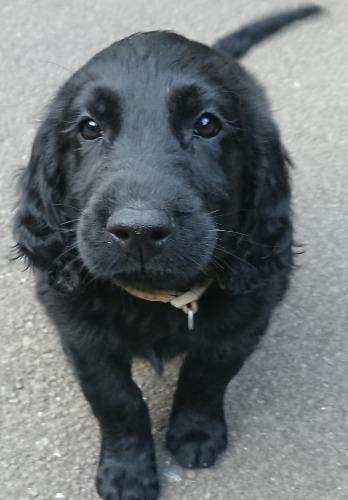 フラットコーテッドレトリバーの子犬(ID:1233711015)の3枚目の写真/更新日:2021-07-14