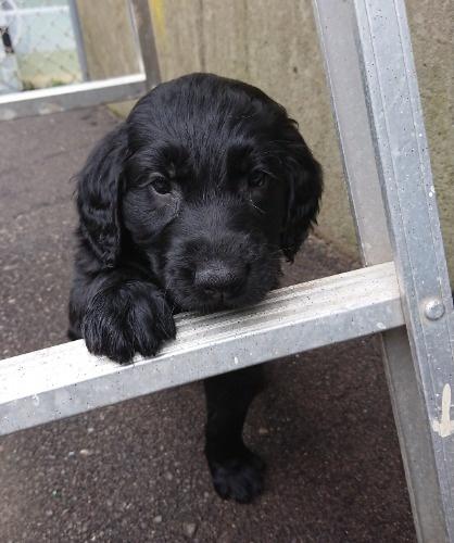 フラットコーテッドレトリバーの子犬(ID:1233711015)の5枚目の写真/更新日:2021-06-21