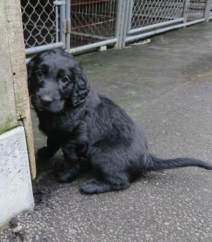 フラットコーテッドレトリバーの子犬(ID:1233711015)の6枚目の写真/更新日:2021-06-22