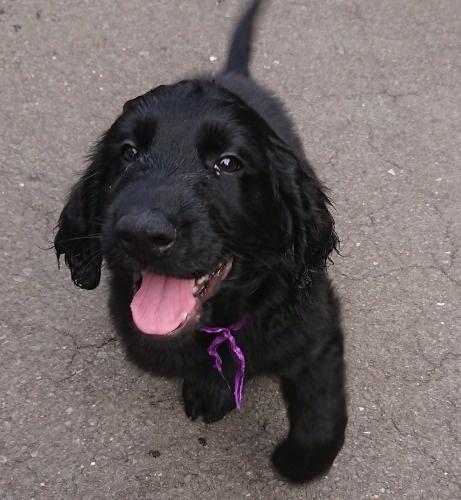 フラットコーテッドレトリバーの子犬(ID:1233711016)の2枚目の写真/更新日:2021-07-14