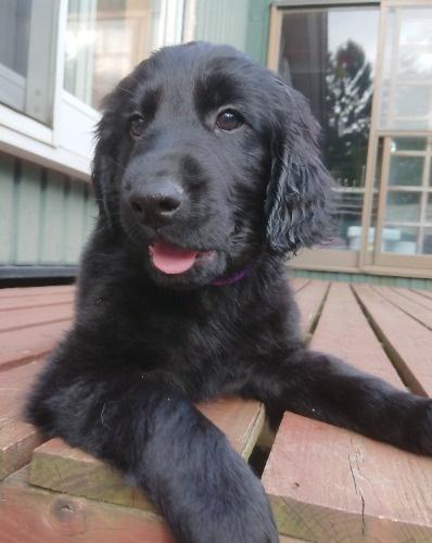 フラットコーテッドレトリバーの子犬(ID:1233711016)の4枚目の写真/更新日:2021-07-14