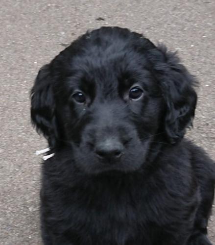 フラットコーテッドレトリバーの子犬(ID:1233711017)の1枚目の写真/更新日:2021-06-22