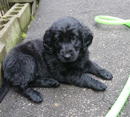 フラットコーテッドレトリバーの子犬(ID:1233711017)の3枚目の写真/更新日:2021-06-21
