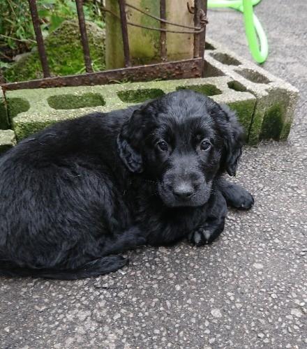 フラットコーテッドレトリバーの子犬(ID:1233711017)の4枚目の写真/更新日:2021-06-21