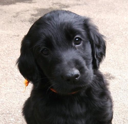 フラットコーテッドレトリバーの子犬(ID:1233711018)の1枚目の写真/更新日:2021-06-22