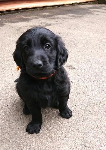 フラットコーテッドレトリバーの子犬(ID:1233711018)の3枚目の写真/更新日:2021-06-21