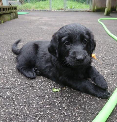 フラットコーテッドレトリバーの子犬(ID:1233711018)の4枚目の写真/更新日:2021-06-21