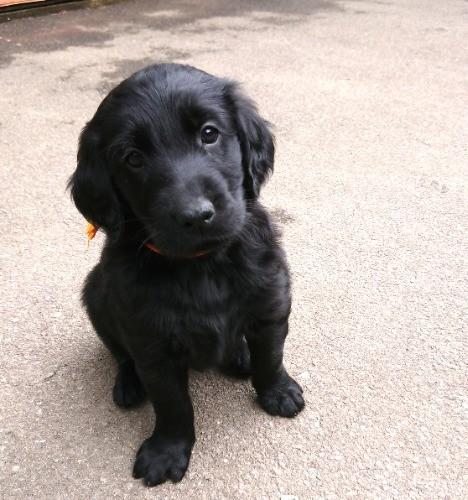 フラットコーテッドレトリバーの子犬(ID:1233711018)の6枚目の写真/更新日:2021-06-22