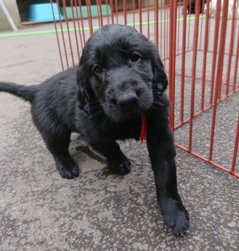 フラットコーテッドレトリバーの子犬(ID:1233711019)の5枚目の写真/更新日:2021-06-21