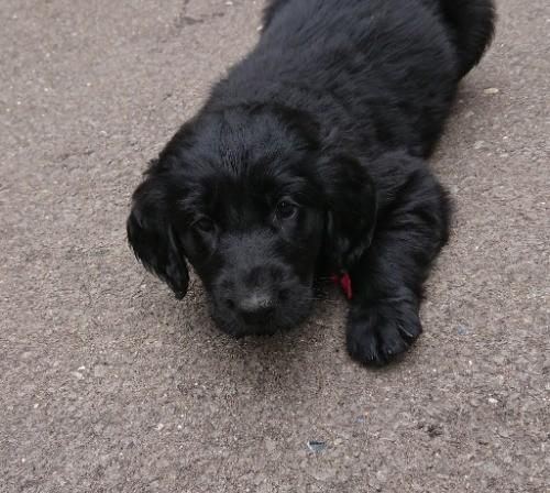 フラットコーテッドレトリバーの子犬(ID:1233711019)の6枚目の写真/更新日:2021-06-21