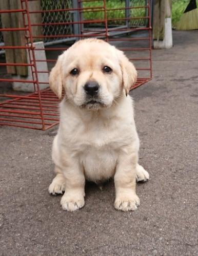 ラブラドールレトリバーの子犬(ID:1233711020)の1枚目の写真/更新日:2021-06-25