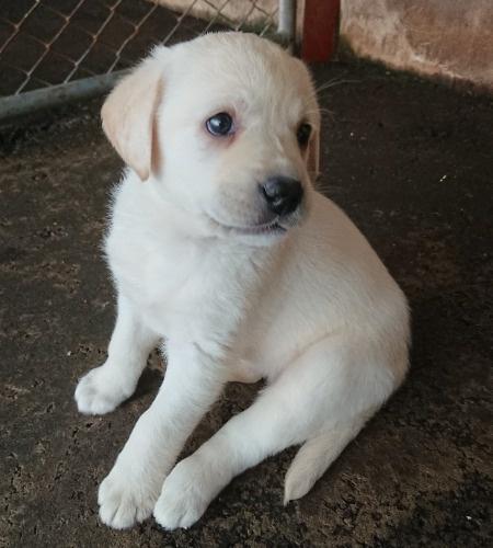 ラブラドールレトリバーの子犬(ID:1233711021)の1枚目の写真/更新日:2021-06-23
