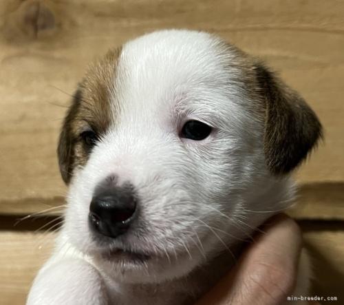 ジャックラッセルテリアの子犬(ID:1233911051)の3枚目の写真/更新日:2021-10-19