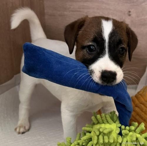 ジャックラッセルテリアの子犬(ID:1233911053)の2枚目の写真/更新日:2019-05-22