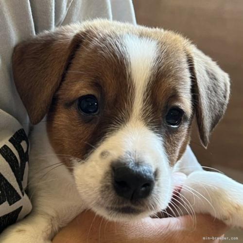 ジャックラッセルテリアの子犬(ID:1233911054)の1枚目の写真/更新日:2019-05-22