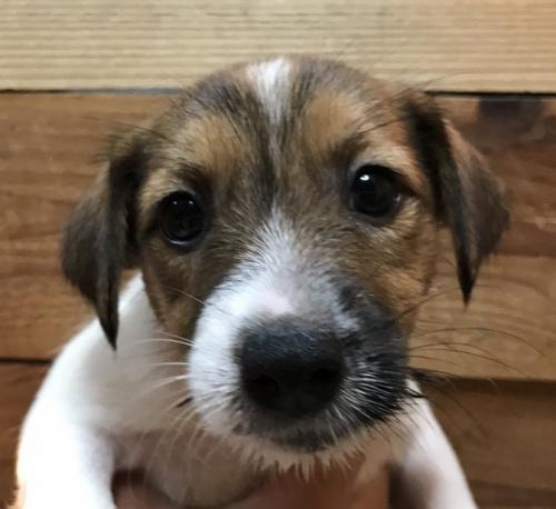 ジャックラッセルテリアの子犬(ID:1233911059)の2枚目の写真/更新日:2019-05-22