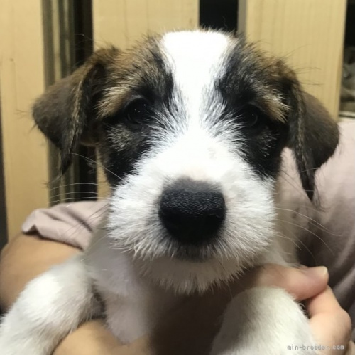 ジャックラッセルテリアの子犬(ID:1233911063)の1枚目の写真/更新日:2019-08-14