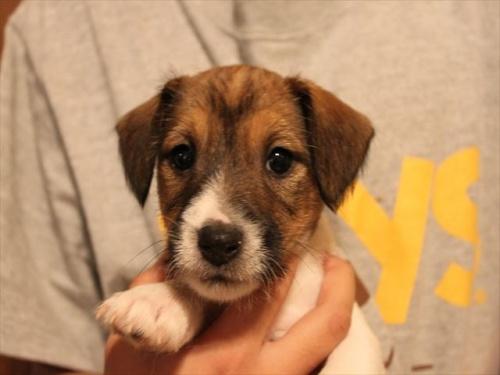 ジャックラッセルテリアの子犬(ID:1233911065)の3枚目の写真/更新日:2017-01-29