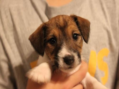 ジャックラッセルテリアの子犬(ID:1233911065)の4枚目の写真/更新日:2017-01-29