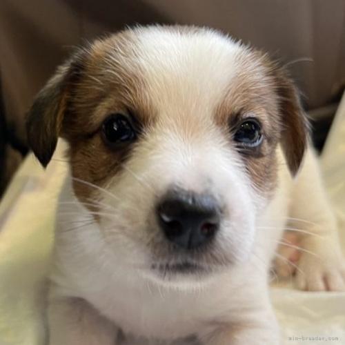 ジャックラッセルテリアの子犬(ID:1233911069)の1枚目の写真/更新日:2019-07-29