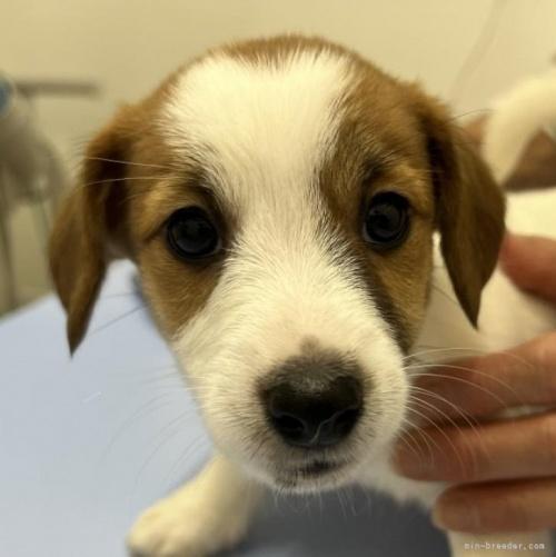 ジャックラッセルテリアの子犬(ID:1233911070)の1枚目の写真/更新日:2019-08-14