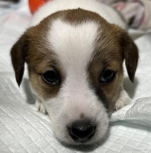 ジャックラッセルテリアの子犬(ID:1233911070)の2枚目の写真/更新日:2019-08-14