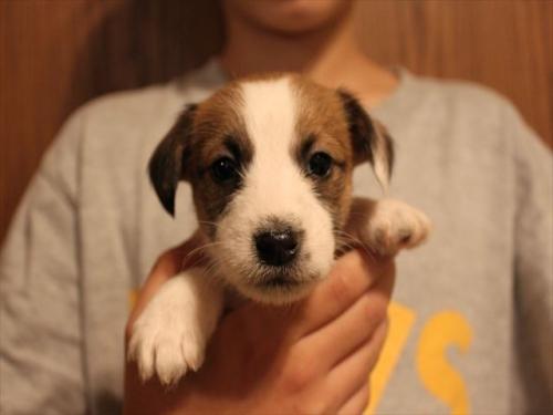 ジャックラッセルテリアの子犬(ID:1233911071)の3枚目の写真/更新日:2017-01-29