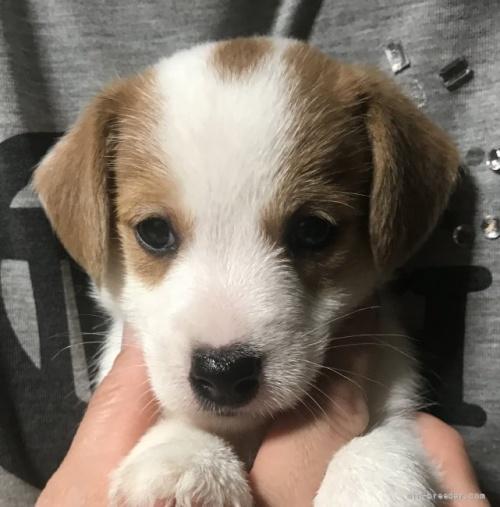 ジャックラッセルテリアの子犬(ID:1233911072)の2枚目の写真/更新日:2019-09-10