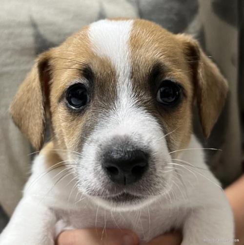 ジャックラッセルテリアの子犬(ID:1233911073)の1枚目の写真/更新日:2017-01-30