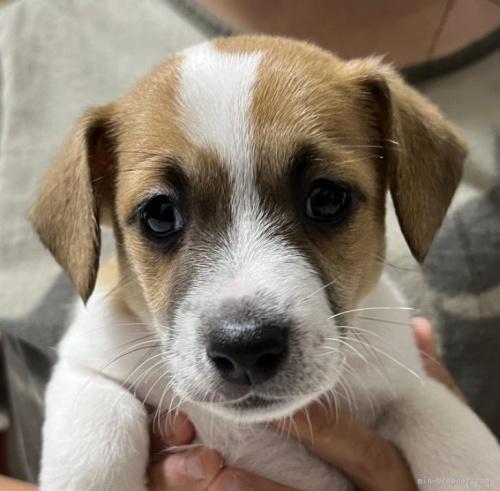 ジャックラッセルテリアの子犬(ID:1233911073)の2枚目の写真/更新日:2017-01-30
