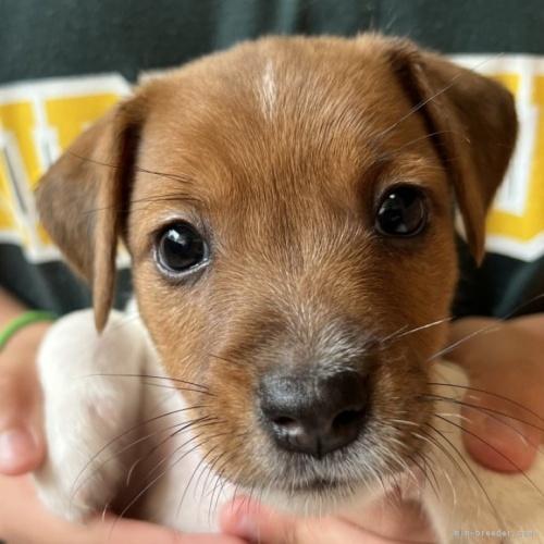 ジャックラッセルテリアの子犬(ID:1233911074)の1枚目の写真/更新日:2017-02-20