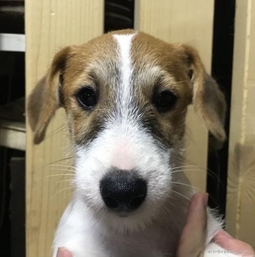 ジャックラッセルテリアの子犬(ID:1233911075)の2枚目の写真/更新日:2017-02-20