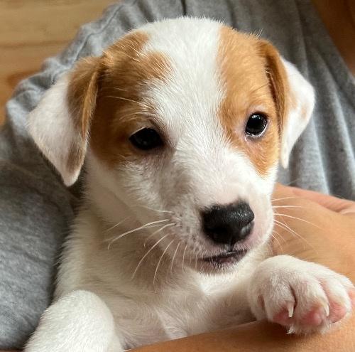 ジャックラッセルテリアの子犬(ID:1233911078)の1枚目の写真/更新日:2017-02-20