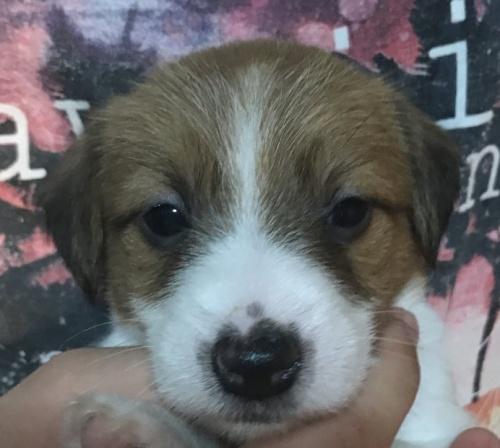 ジャックラッセルテリアの子犬(ID:1233911081)の1枚目の写真/更新日:2017-04-11