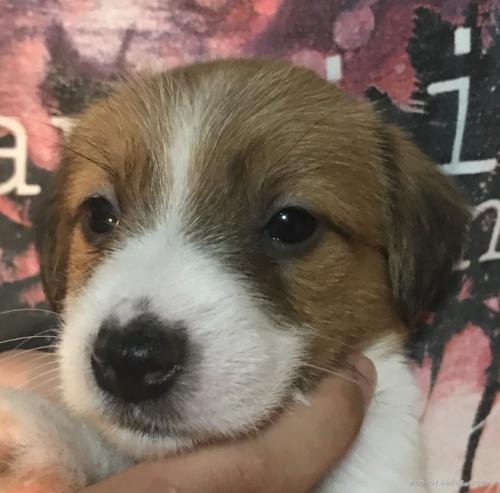 ジャックラッセルテリアの子犬(ID:1233911081)の2枚目の写真/更新日:2020-01-21