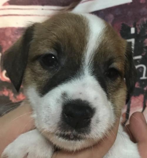 ジャックラッセルテリアの子犬(ID:1233911082)の1枚目の写真/更新日:2017-05-09