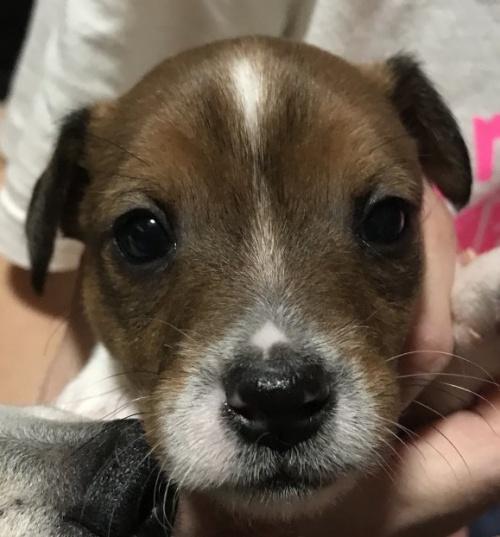 ジャックラッセルテリアの子犬(ID:1233911084)の2枚目の写真/更新日:2017-05-09