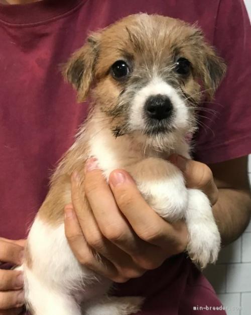 ジャックラッセルテリアの子犬(ID:1233911085)の2枚目の写真/更新日:2017-05-09
